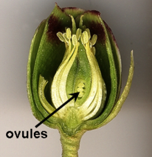Ovule Wikipedia Parts Of A Flower Parts Of A Plant Flowers
