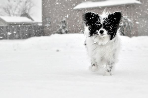 Papillion! :) snow cosmo for sharon