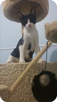 Philadelphia, PA - Domestic Shorthair. Meet Domino, a kitten for adoption. http://www.adoptapet.com/pet/16561257-philadelphia-pennsylvania-kitten