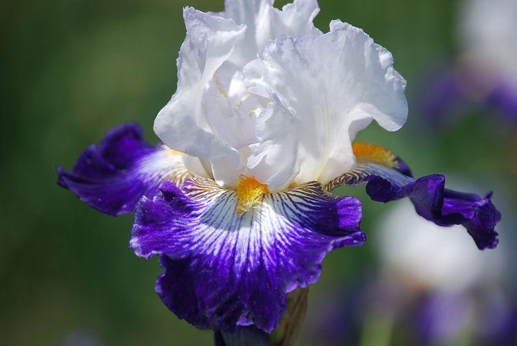 Flash Of Light Iris Garden Iris Flowers Iris Farms