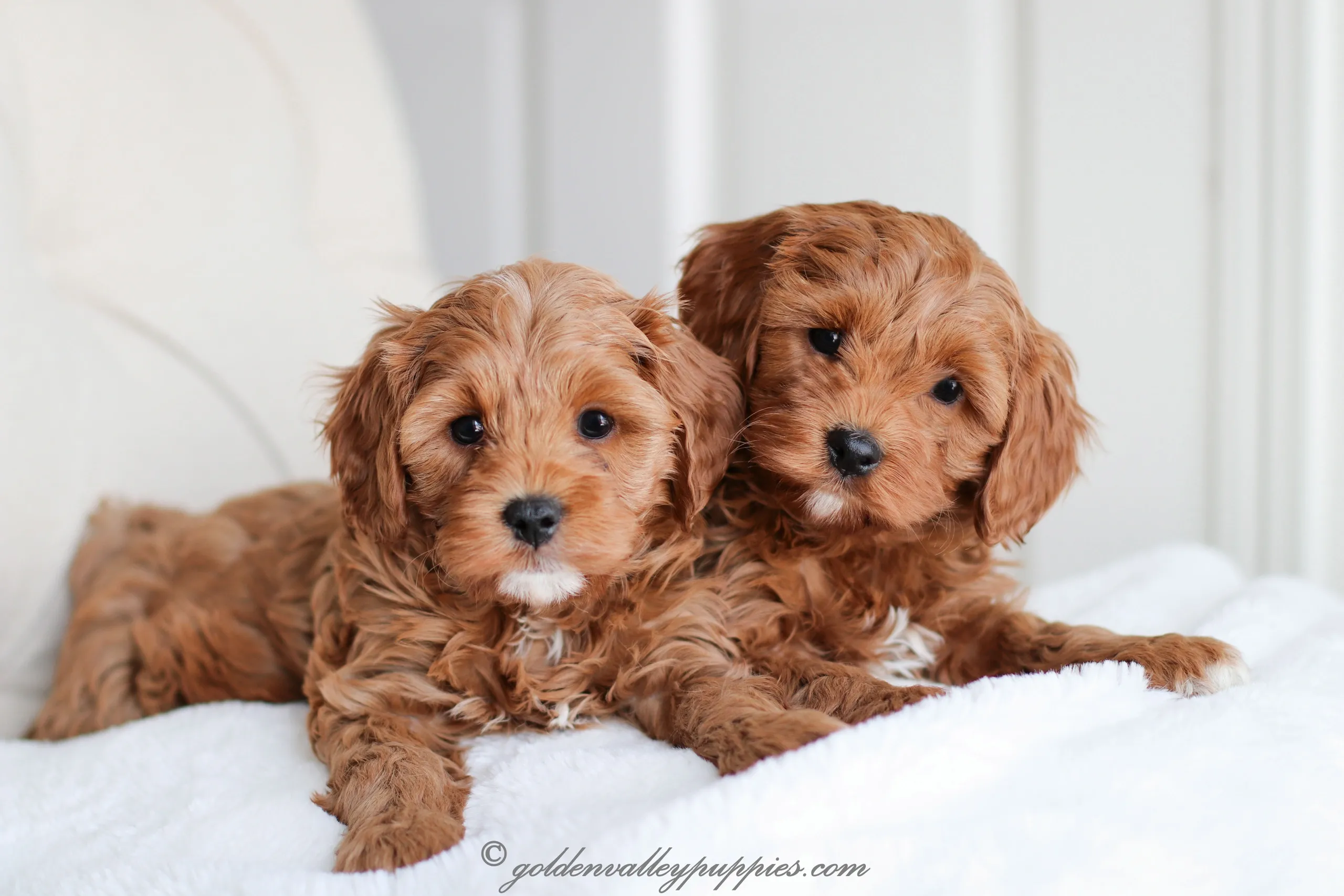 Why Are Cavapoos Are Great Pick For You Or Your Family Find Out