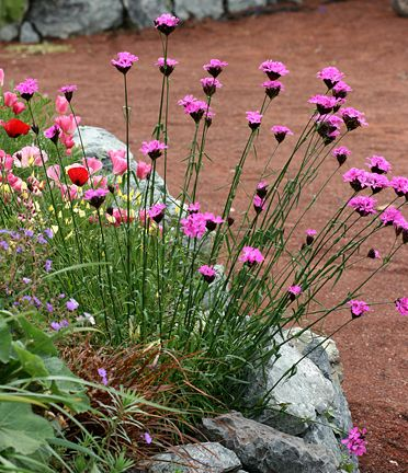 "Dianthus carthusianorum ""Clusterhead Pink"" Zone 5 Annie's (blooms from spring through fall)"