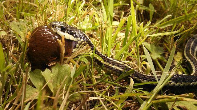Garter Snake Eating A Slug At Alderleaf Wilderness College Our Permaculture Inspired Strategy