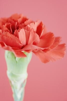 What Do Carnation Seeds Look Like Carnations Container Gardening Flowers Container Flowers