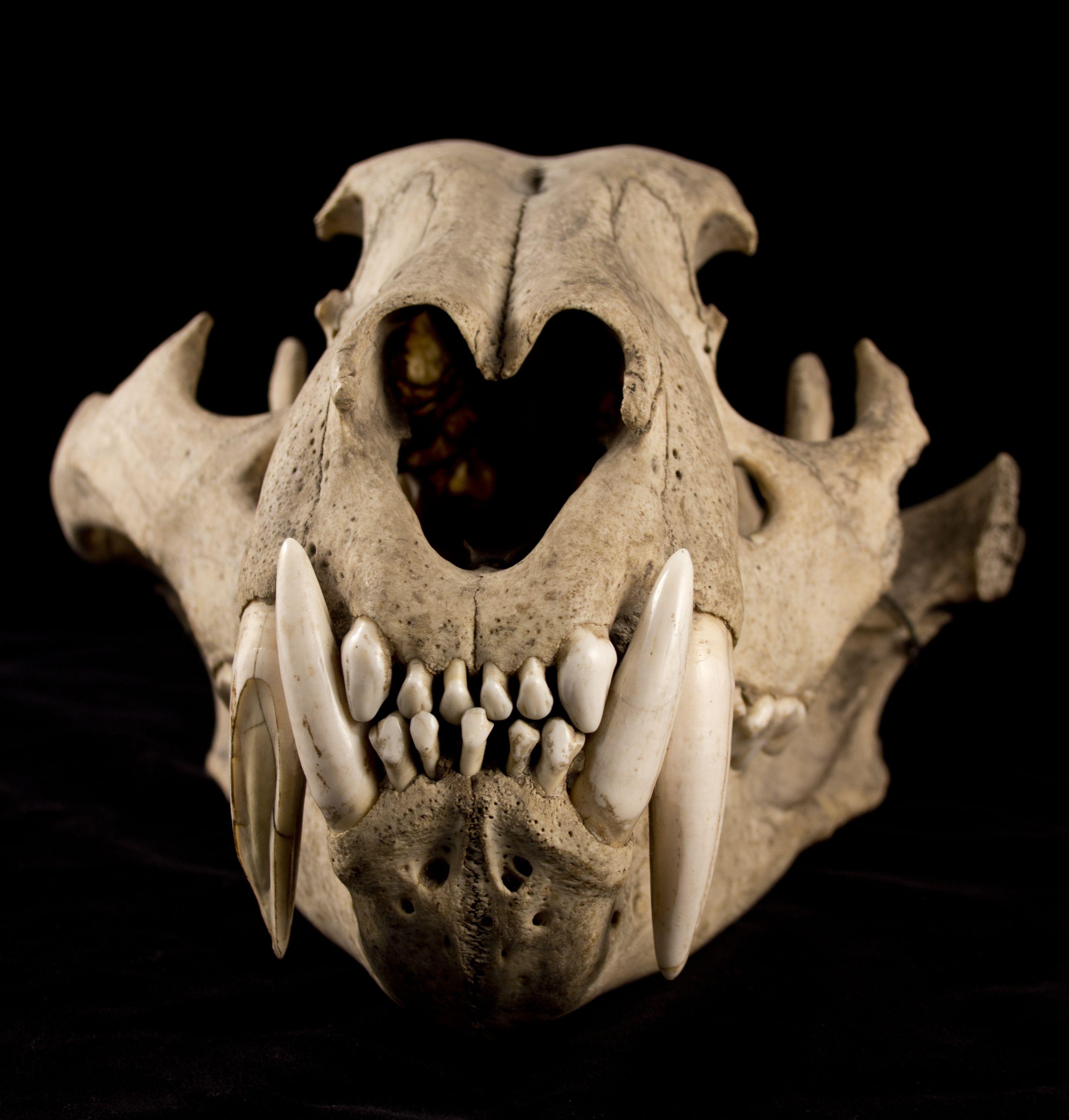 Cat Skull Front Saber tooth ti | tatoo | Pinterest | Skulls, Cat ...