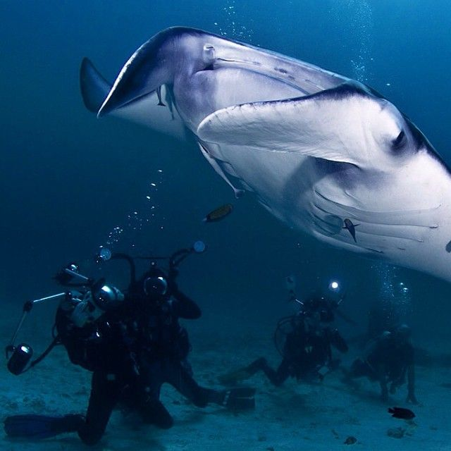 Giant Manta Ray #diving #wildlife #majestuous #ocean