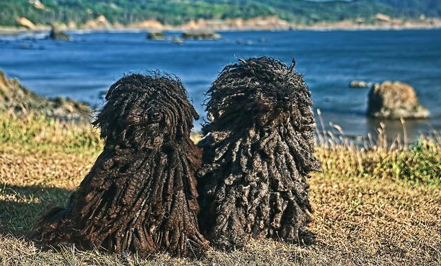 Hungarian Pulik Komondor dog, Komondor, Puli dog