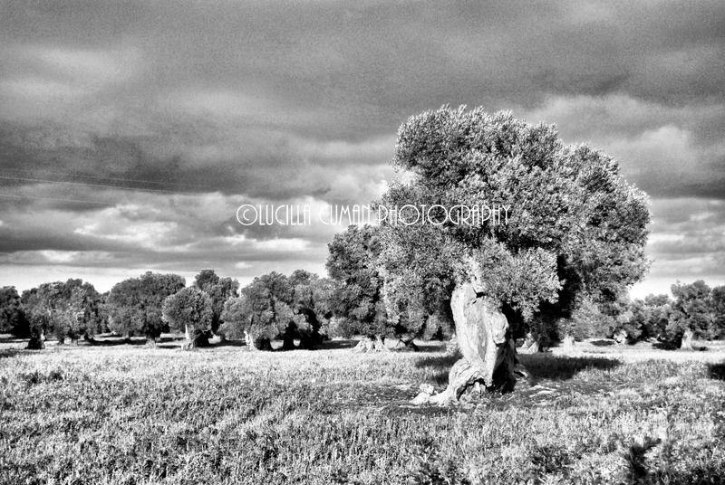 Olive trees. Puglia