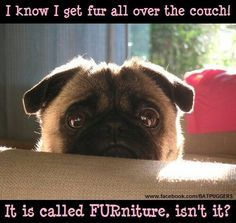 Pug Jokes Google Search Pugs Funny Pugs Pug Memes