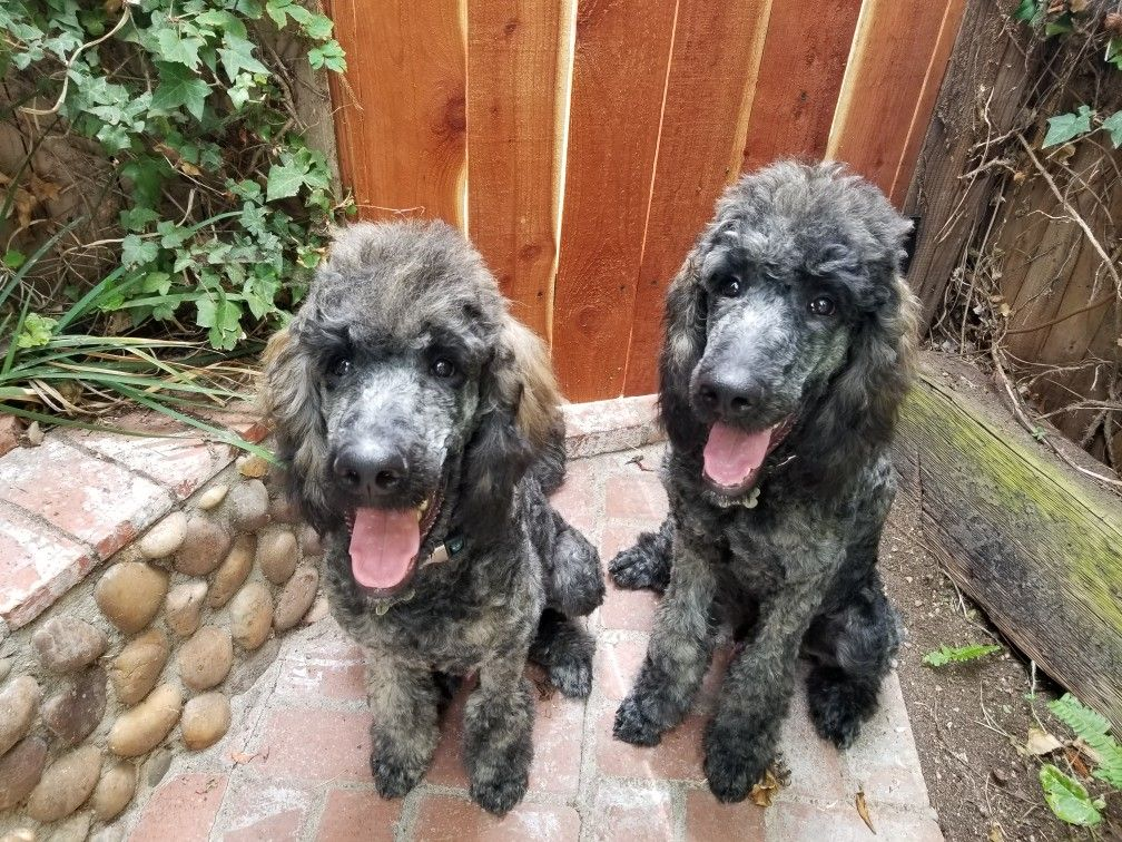 Brindle Poodles Standard Poodles Puppies 6 Months Old