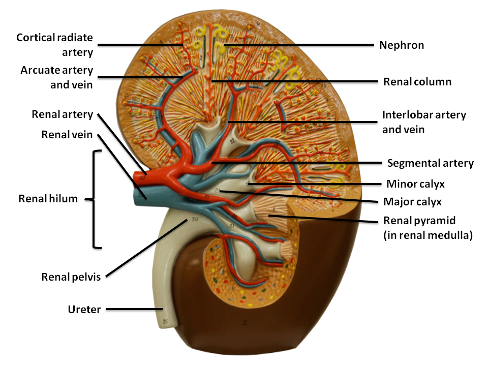 abnormal posiyion of renal pelvis   interlobar vein renal
