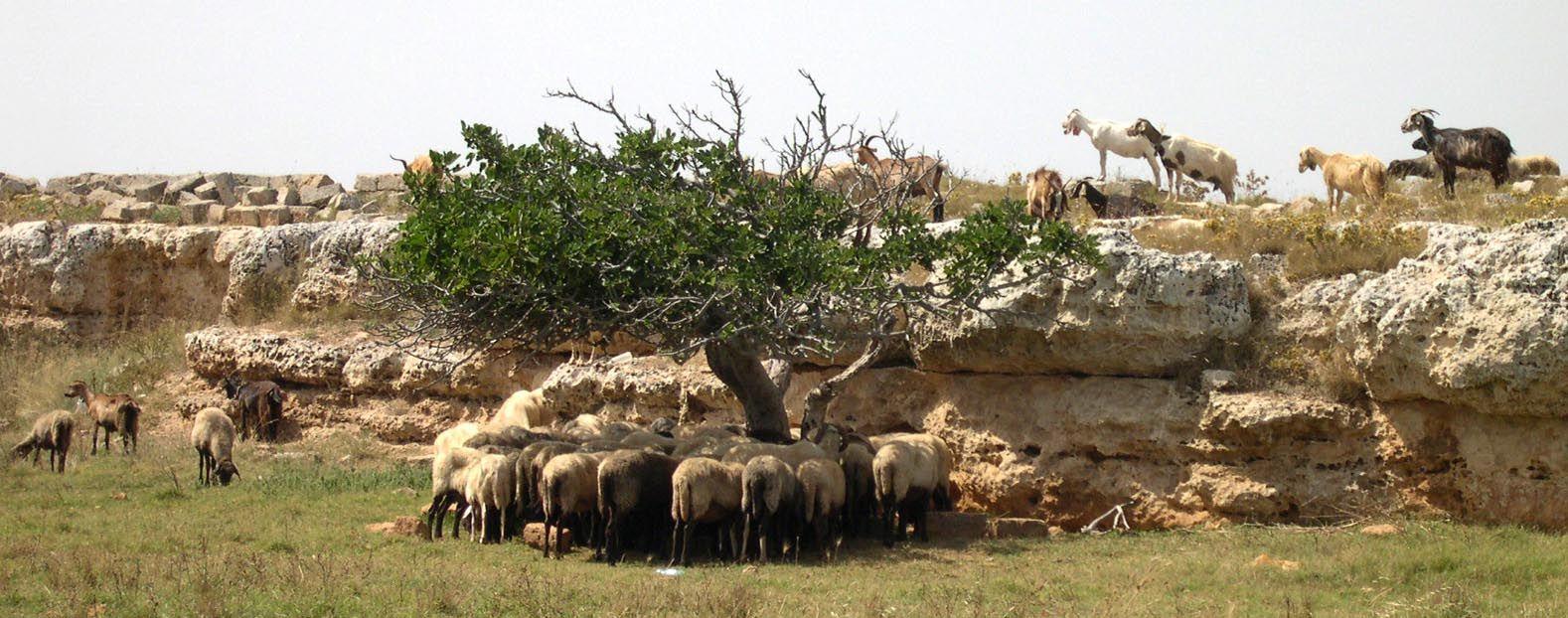 Country / Puglia/ sheeps