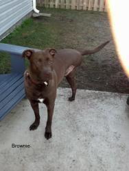 Adopt 3 Legged Brownie On Dog Adoption Labrador Retriever Dog