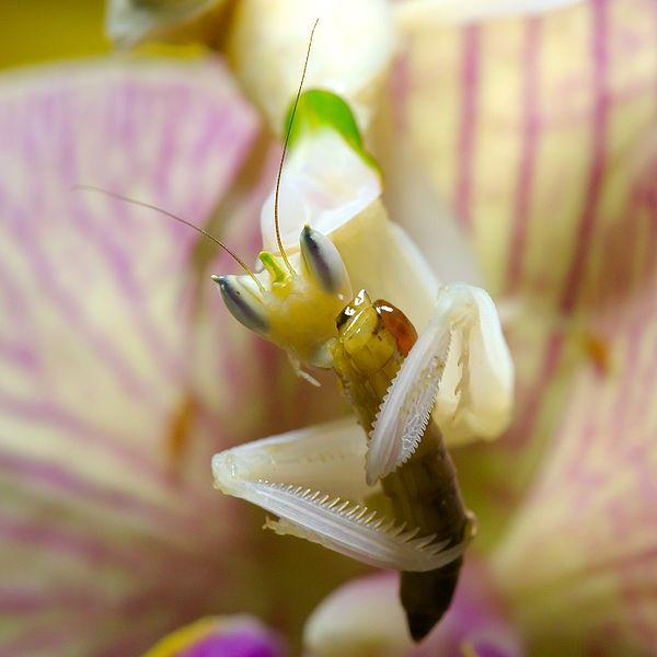 Orchid Mantis Orchid Mantis Orchids Creature Feature