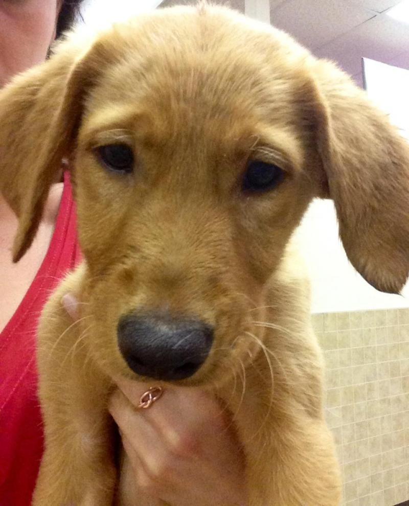 Adopt Sunnie on Golden retriever labrador, Labrador