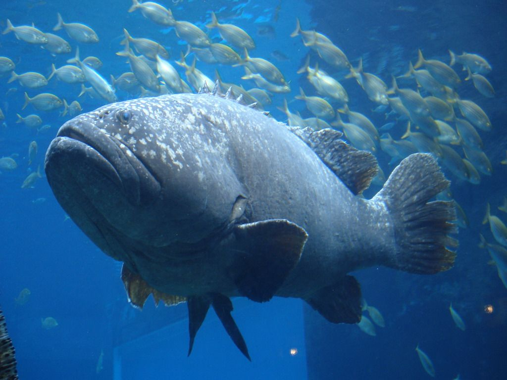 5 interesting facts about giant groupers shark for Goliath grouper fish