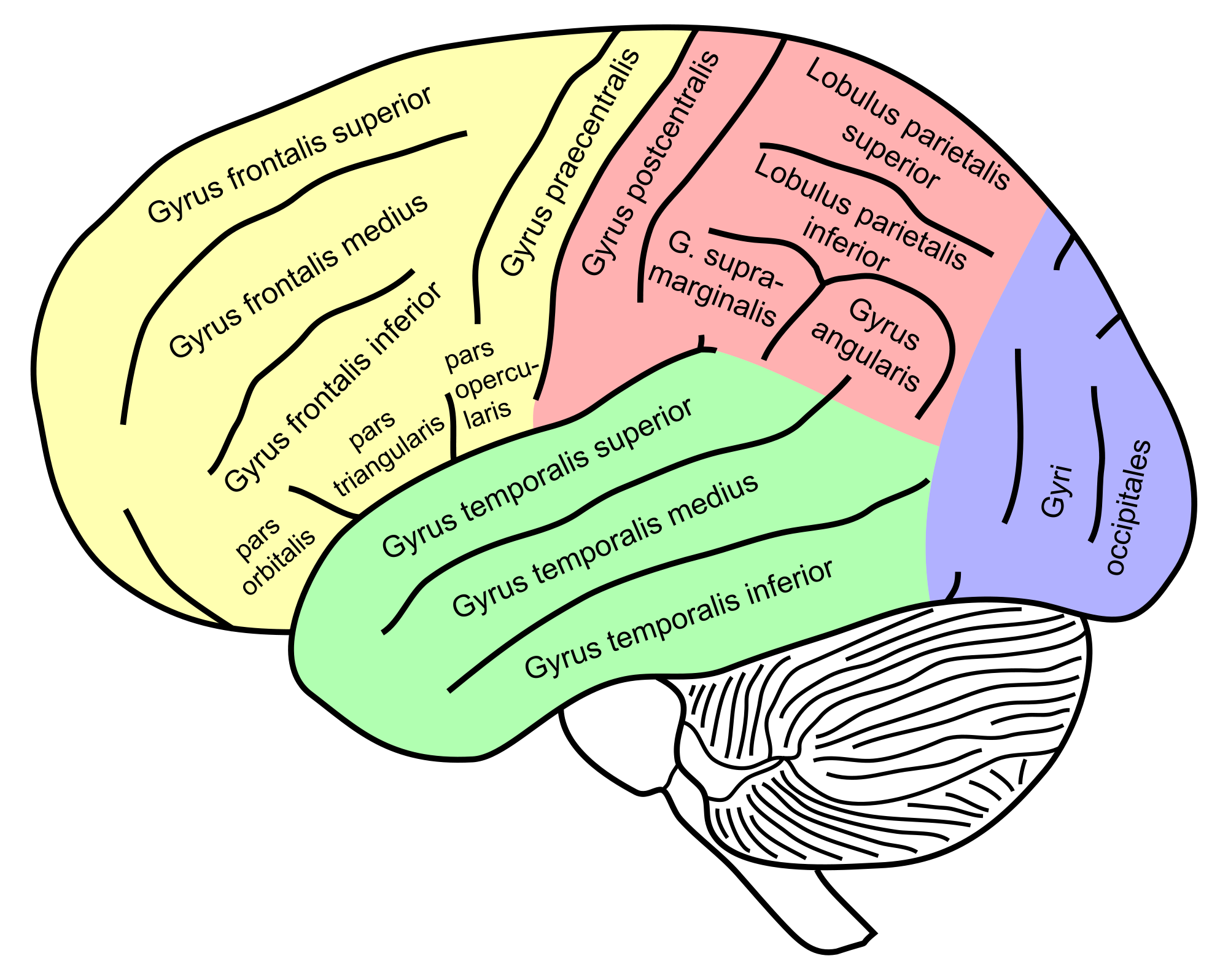 Lateral View Of A Human Brain Main Gyri Labeled
