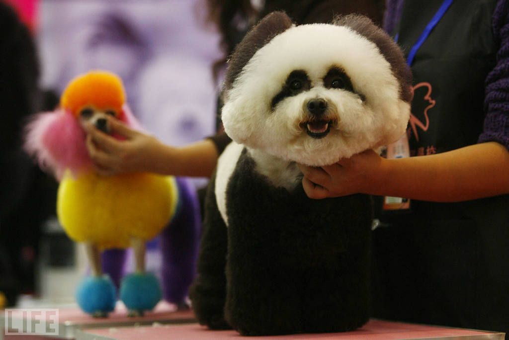 Poodle Made To Look Like A Panda At A Dog Show In China Snuggly