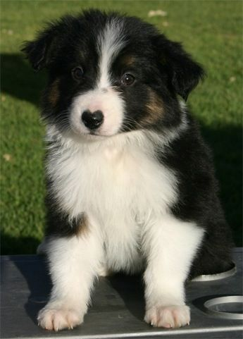 Tri Color Bc Pup Dog Thoughts Border Collie Cute Fluffy Puppies