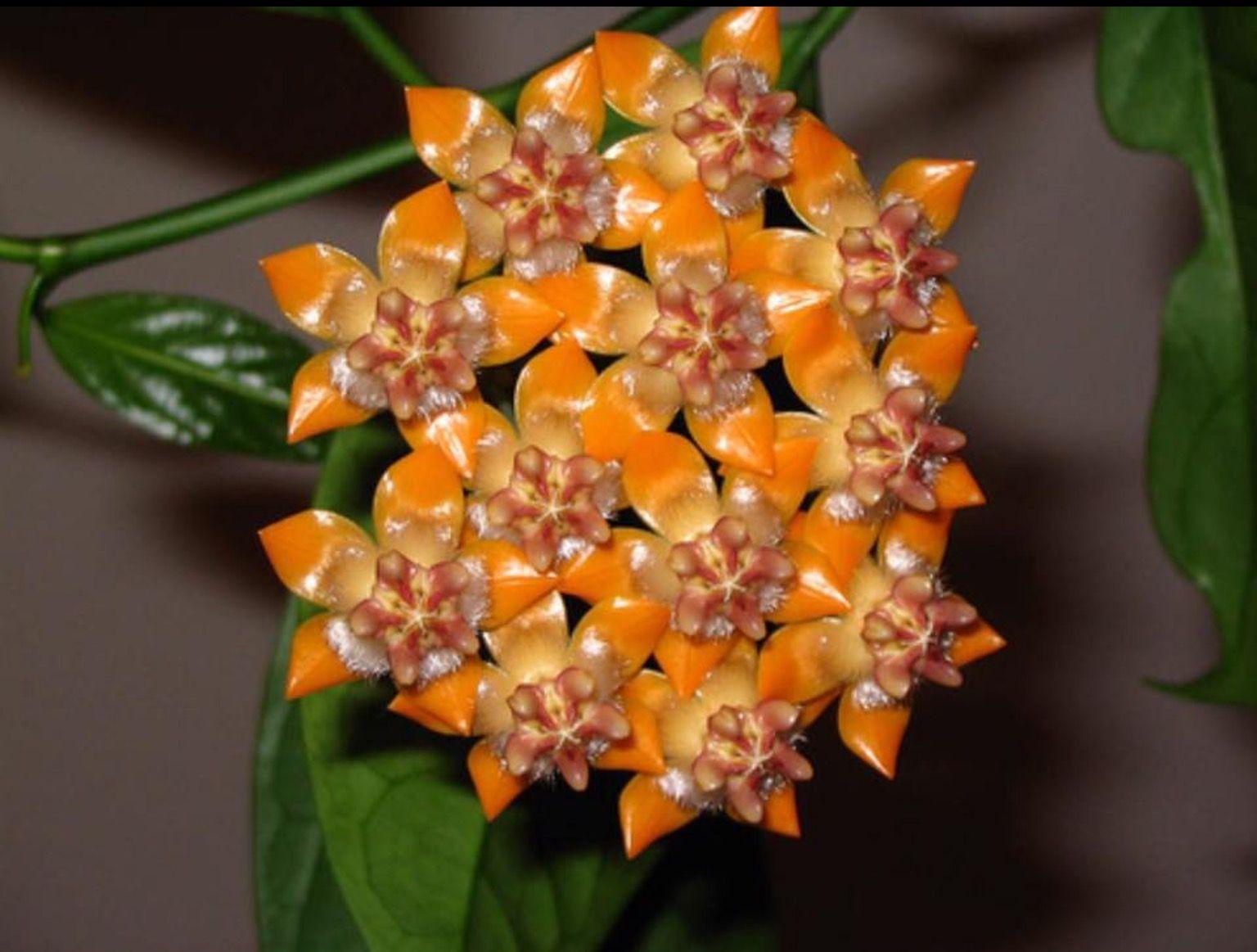 Hoya praetorii flores pinterest cera hoja y plantas for Hoya para cocinar