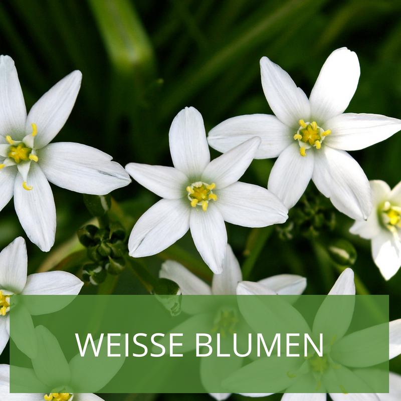 Weisse Blumen Im Garten Inspiration Zur Gartengestaltung Weisse Blumen Garten Blumen