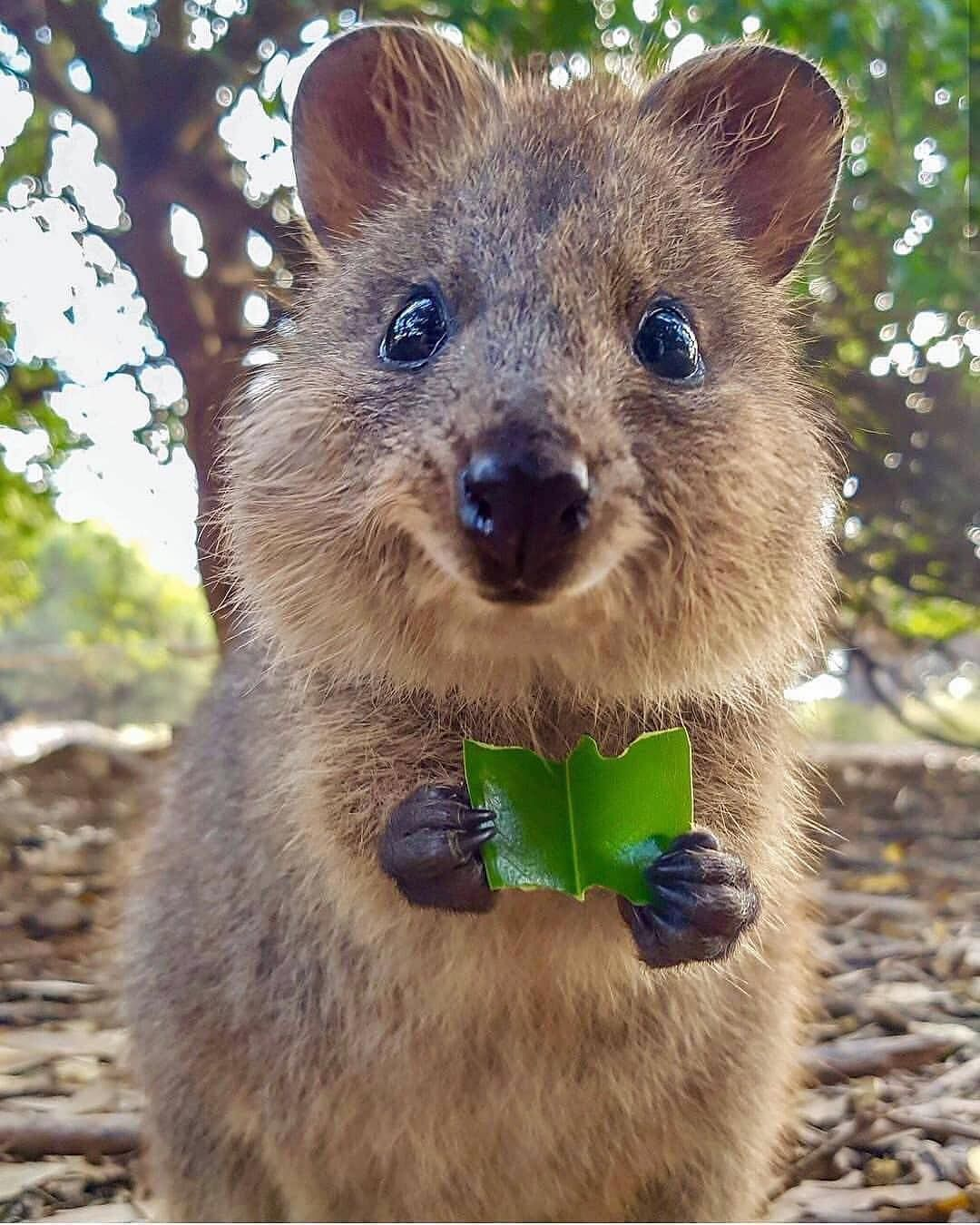 Nature Wildlife Adventure さんはinstagramを利用しています This Is The Australian Quokka The Happiest Animal On Earth Cute Animals Cute Baby Animals Quokka Animal