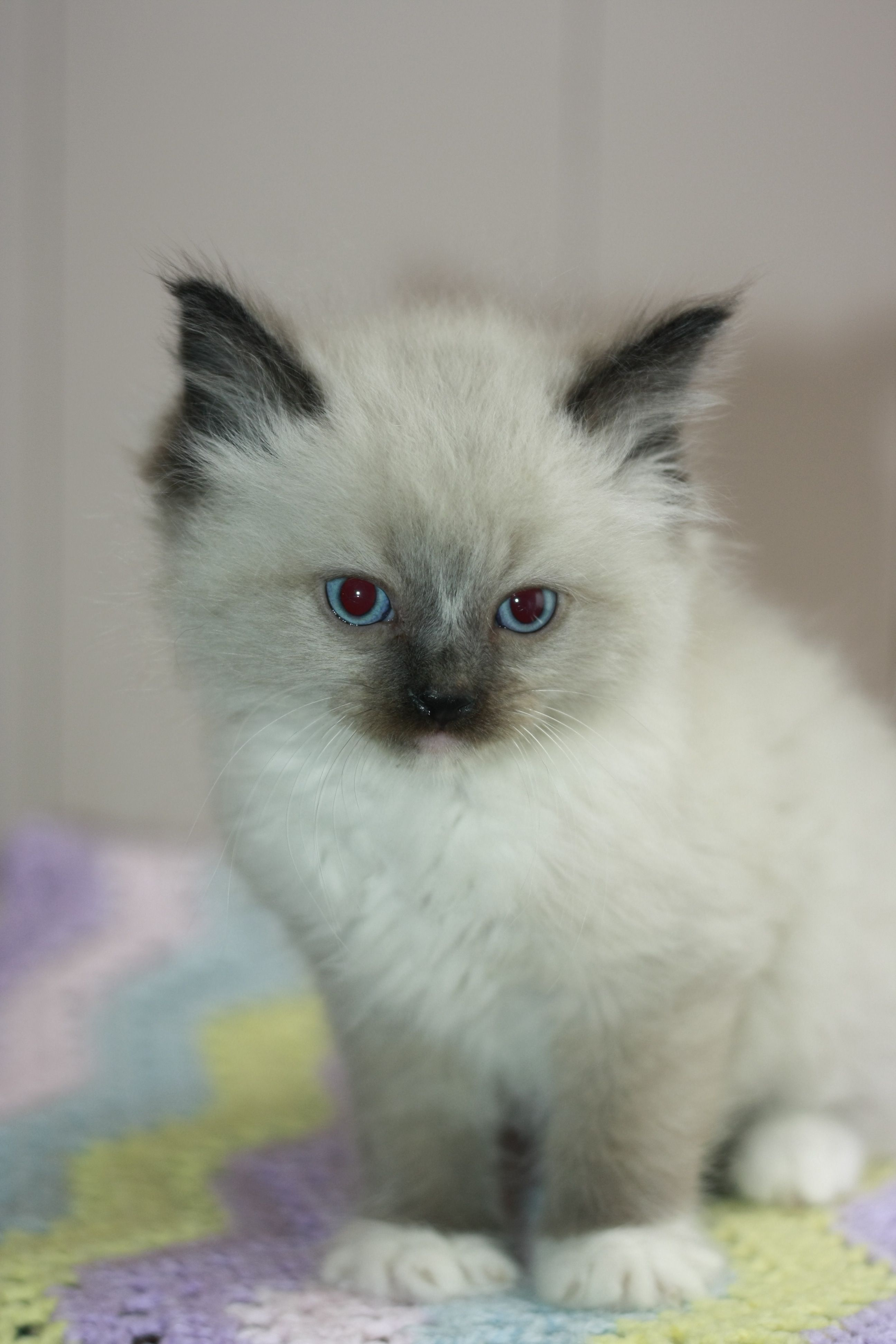 Here He Is At 6 Weeks Gorgeous Coloring Cat Lady Starter Kit Ragdoll Kitten Pet Lover Jewelry