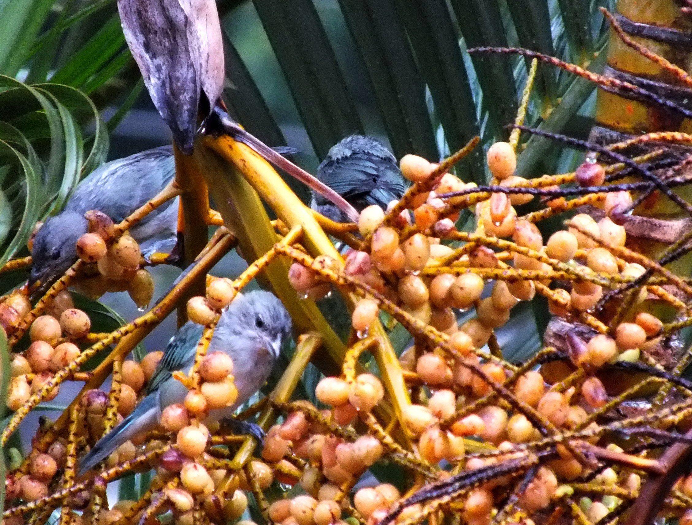 A importância das plantas brasileiras que possam alimentar nossos pássaros livres.Nossos quintais estão sendo erradamente, substituídos por prédios e plantas exóticas,que nem as atraem.