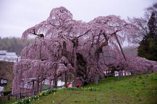 Takizakura Miharu Fukushima Japan Blossom Trees Japan Weeping Cherry Tree