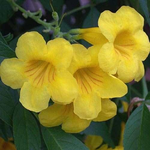 Semillas De Arbol De Flores Amarillas Sardinillo Con Imagenes