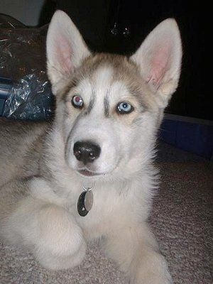 4 Month Old Wolf Hybrid Named Tukai Is 25 Siberian Husky And 75