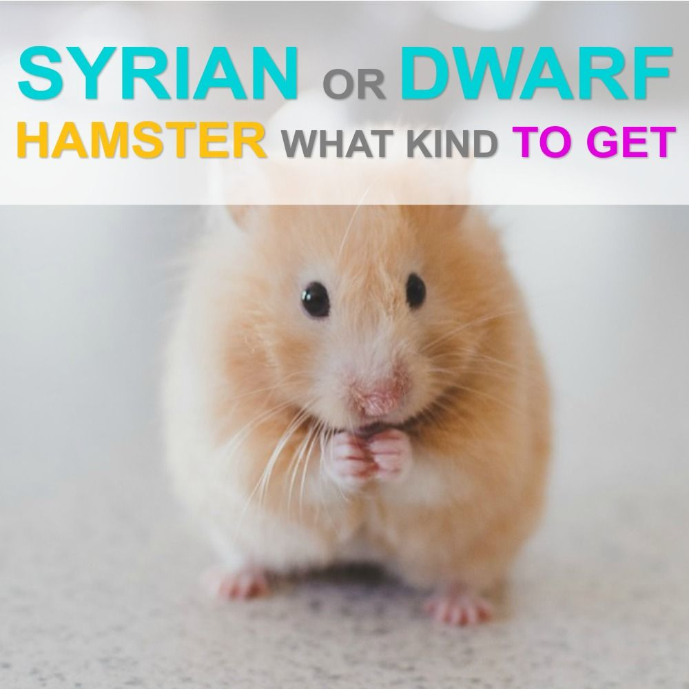 Syrian Hamster Or A Dwarf Hamster What Type Is Right For Me