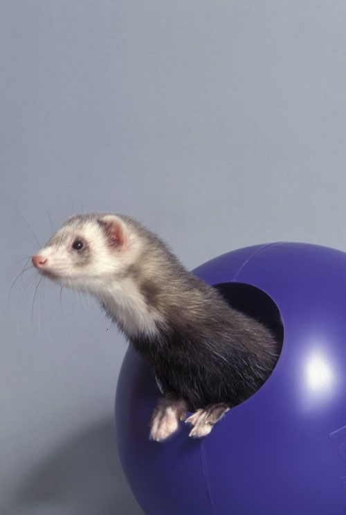 Explore 10 Common Misconceptions About Pet Ferrets That Ferret