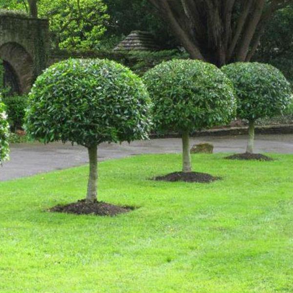 Prunus Lusitanica Portuguese Laurel Tree Johnstown