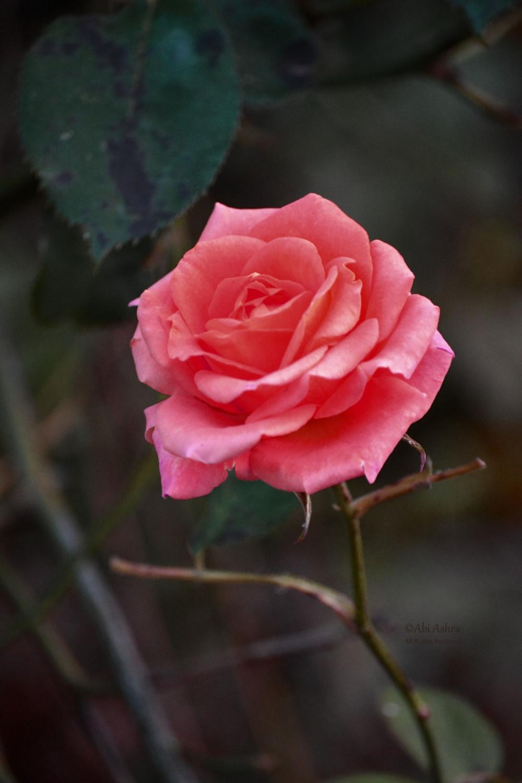 Pin by Jelena B. on Garden! Rose, Moisturizer, Green