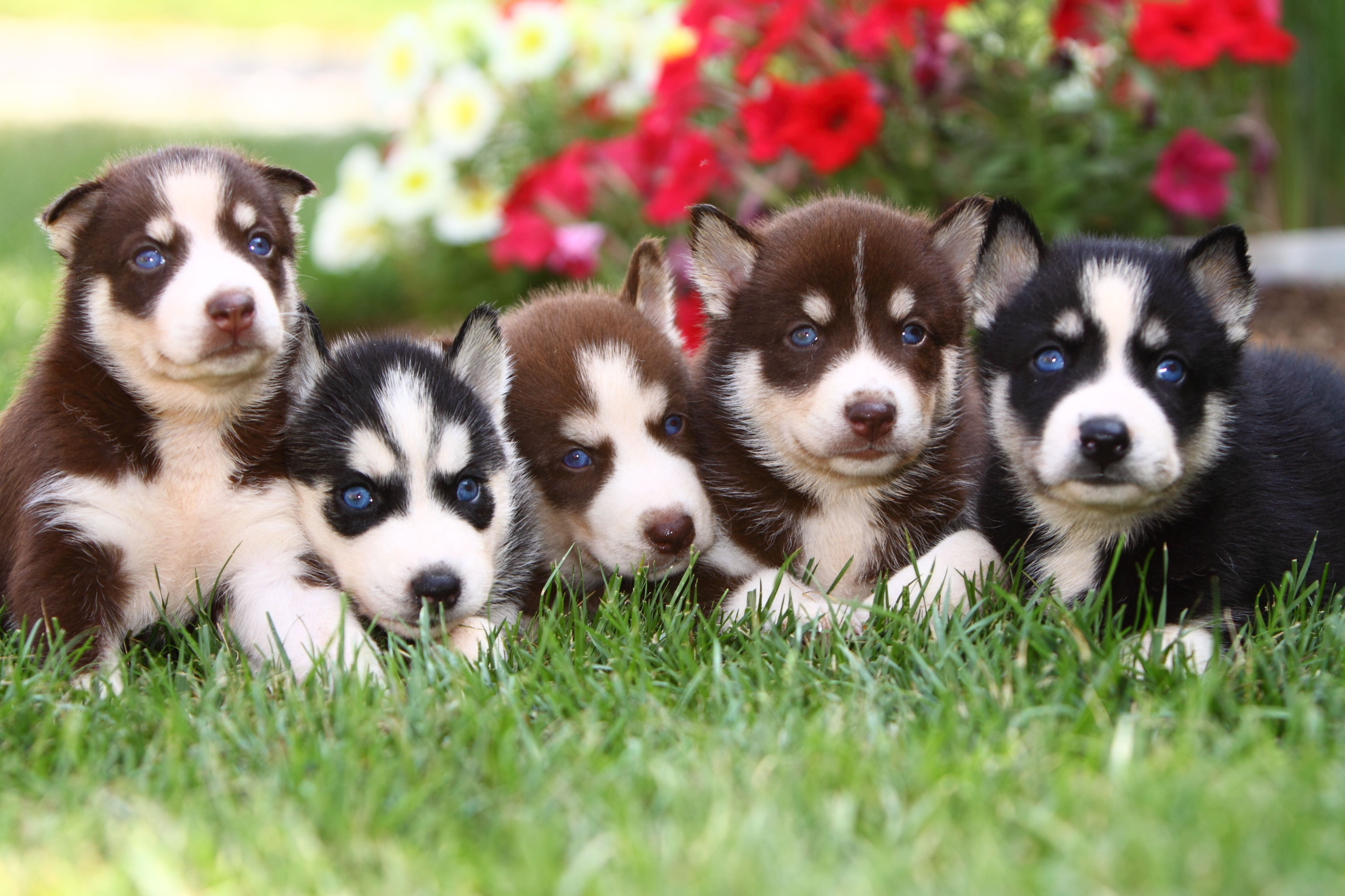 Adorable Litter Of Siberianhuskies Find Exceptional Family