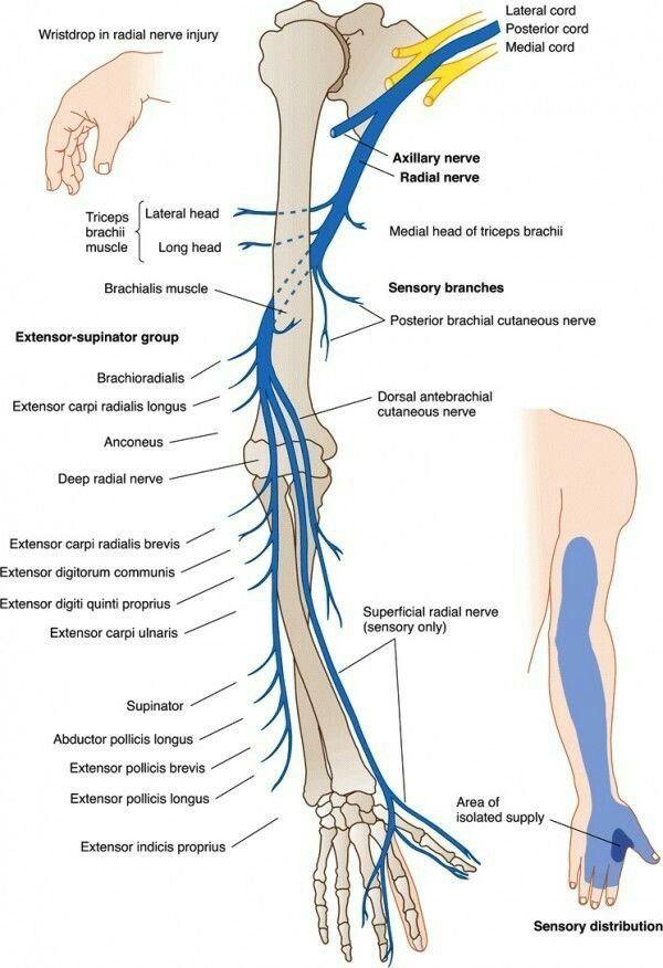 Pin by Lynn Blalock on Education stuff | Pinterest | Anatomy ...