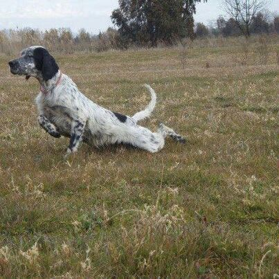 Blue Belton English Setter On One Heck Of A Point English