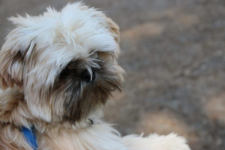 How Many Times A Day Does A Shih Tzu Puppy Need To Eat Dog