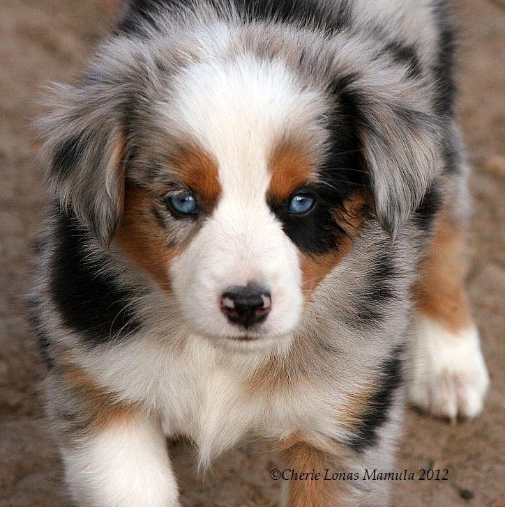 Chase N It Farm Mini Aussies PUPPIES Aussie puppies