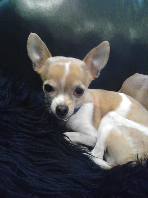 Dog Finder Adopt A Dog Or Cat Near You Dog Adoption Cute Puppies Chihuahua Lover
