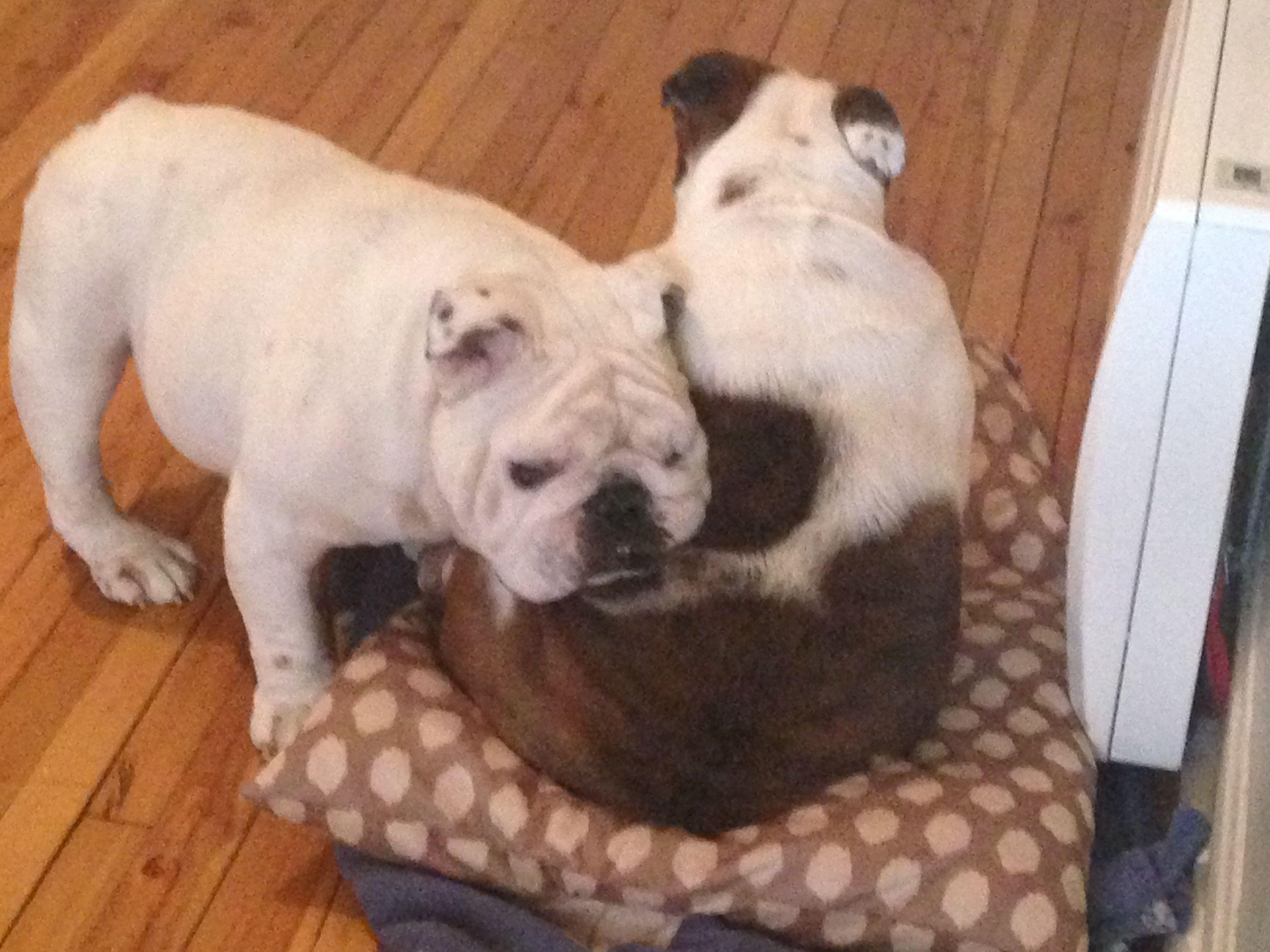 Pin By English Bulldog Puppies On English Bulldogs English