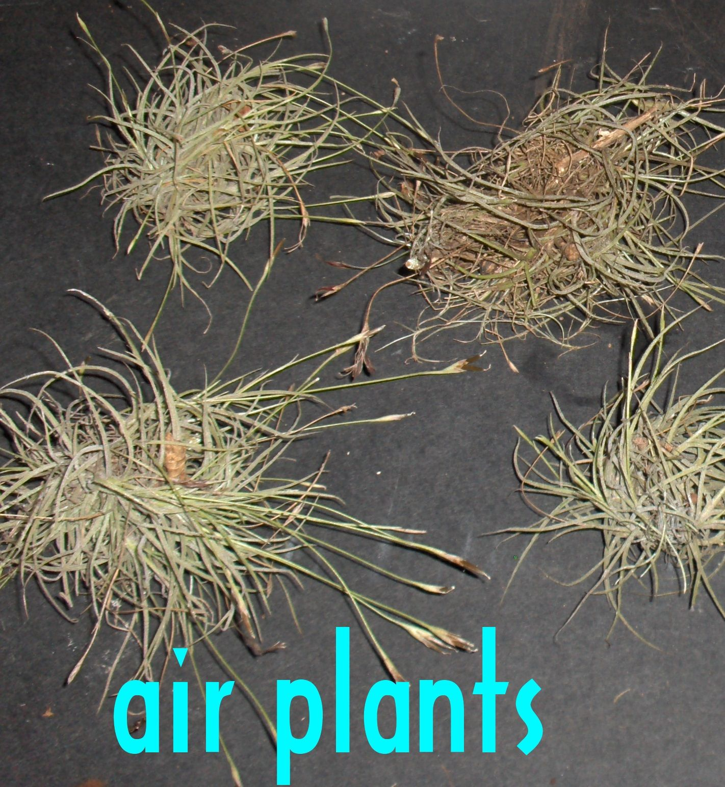 Seven Air Plant Seeds For Sale