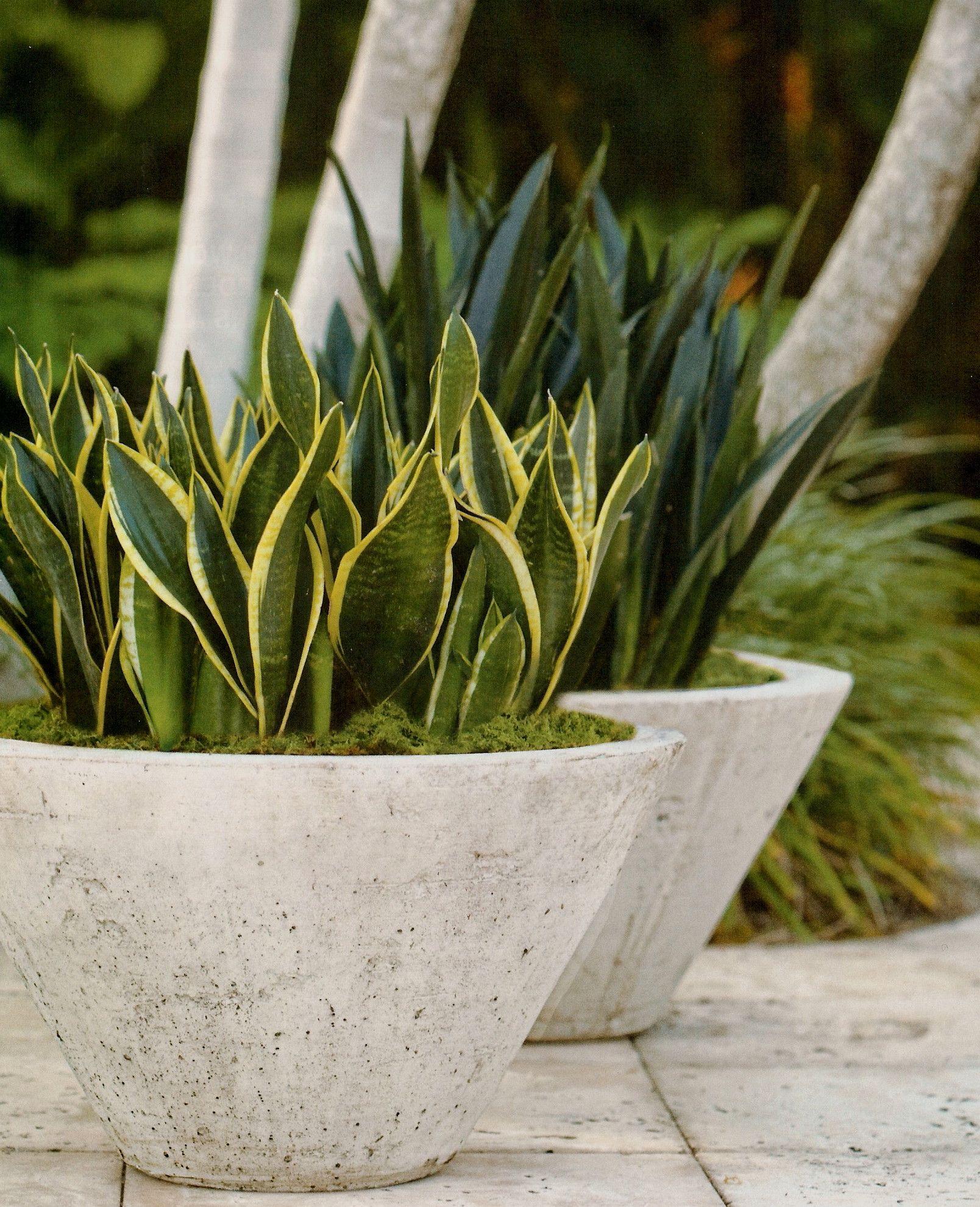 Fioriere Da Esterno In Cemento concrete planters, potted plants; sansevieria trifasciata