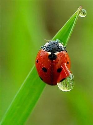 Ladybug with Waterdrop