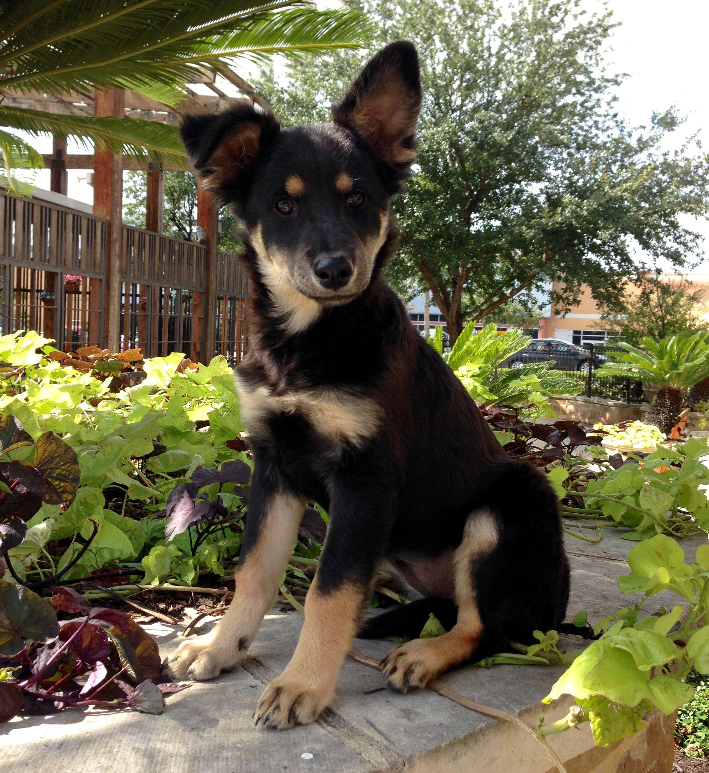 Golden Shepherd Dog For Adoption In Austin Tx Adn 704494 On Puppyfinder Com Gender Female Age Young Dog Adoption Golden Shepherd Dogs