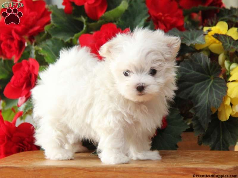 Cody Maltese Puppy For Sale In New Holland Pa Maltese Puppy
