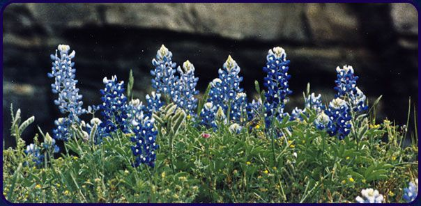 I love bluebonnets.
