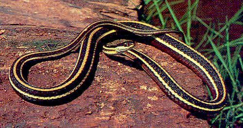 Brown Snake With Yellow Stripes Thamnophis S Sauritus