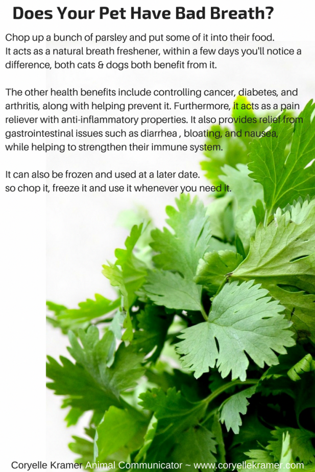 Parsley the natural breath freshener for dogs  cats and its health benefits